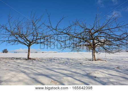 Two trees in the snow with blue sky
