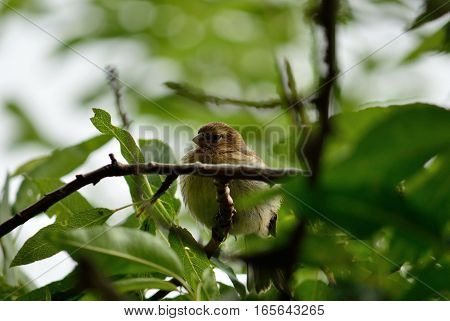 Young serinus bird, hidden among the tree branches