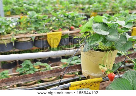 Fresh And Young Strawberry Fruits