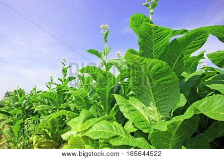 growing tobacco on a field in Poland