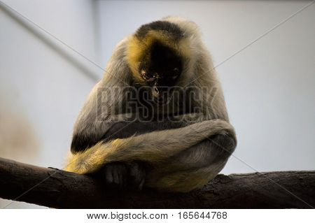 A spider monkey sitting on a branch
