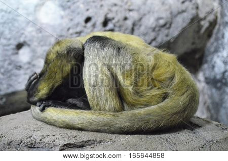 A spider monkey sleeping on a rock