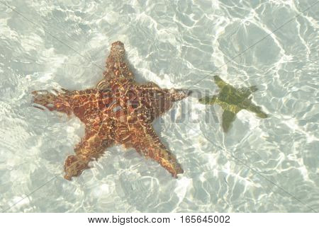 Big Red sea star and little yellow sea star under the caribean water