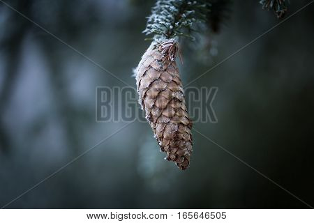 Spruce Tree Branch With Cone And Rime