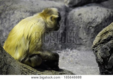 A close up of a spider monkey