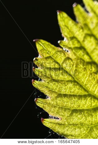 gentle young green grape leaf closeup on a black background