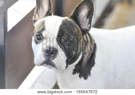absent minded French bulldog or French bulldog near the fence