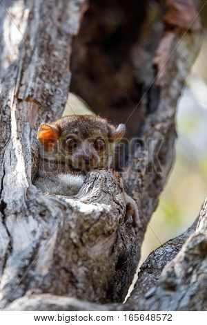 Ankarana Sportive Lemur, Madagascar
