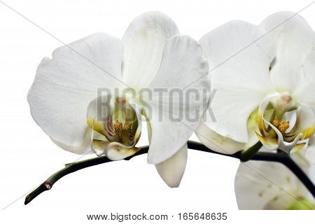 flower of orchid isolated on white background