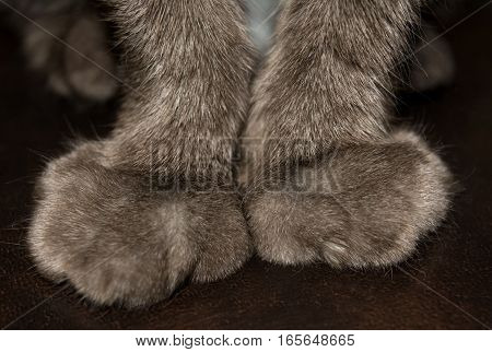 The forelegs cat closeup. Paws declawed. Brown background.