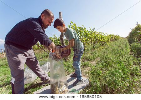 TELAVI PROVINCE, GEORGIA - OCT 2, 2016: Unidentified boy working with father on grapes harvesting at farm with vineyard on October 2, 2016. Telavi of Kakhetia has a population 22000