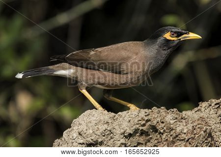 A single common myna (Acridotheres tristis) perching on the side of a table in Mauritius.