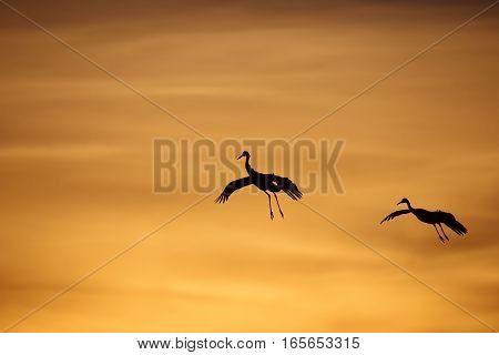 Silhouette of Sandhill Cranes Flying at Sunset