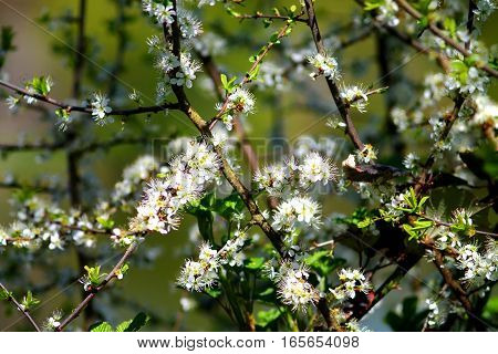 Hawthorn shrub with white blossom. White five petals flowers with big stamen.
