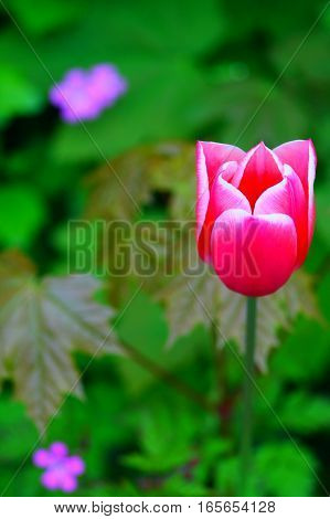 Hot pink tulip close up, selected focus. Shallow natural green focus background.