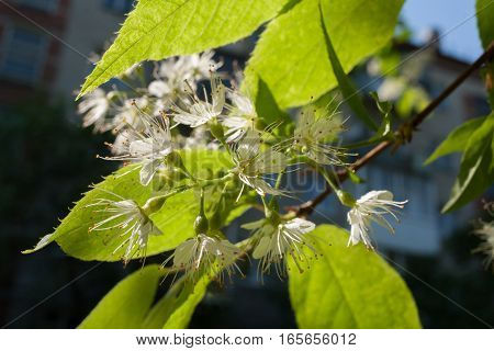 Sunlit blooming bird-cherry tree branch on the background of the house in shadows.