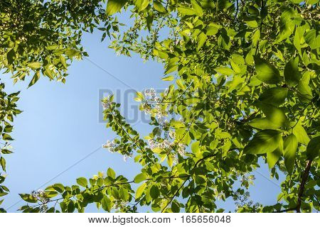 Spring background. Branches of blossom bird-cherry tree and blue sky. Bottom view.