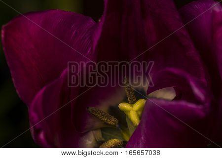violet flower purple macro garden yellow spring