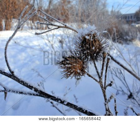 the dried seeds of the burdock are covered with crystals of frost