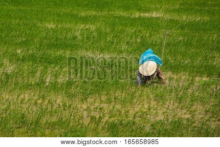 A Vietnamese rice farm worker in a flooded rice field.