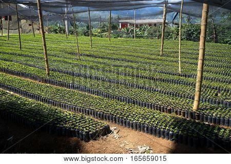 coffee farm nursery in EL Jardin Colombia