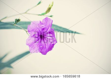Scientific name is Ruellia uberosa. Purple flower blooming with blurred background.
