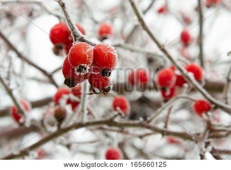 Red rosehip berries in winter frost closeup. Foto