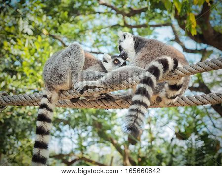 Two Ring-Tailed Lemur (Lemur catta) Outdoor Shot in the zoo