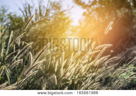 Grass flower in forest with sunset at evening time.