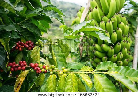 coffee bush and banana tree in Tierradentro Colombia