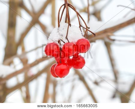 Viburnum berries on a branch with snow in the winter clear day