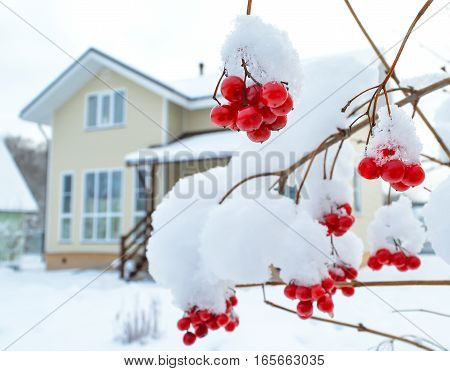Viburnum berries on a branch against the backdrop of a cottedge in a winter sunny day