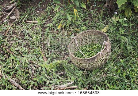 Green Chillies mixed in the basket on nature background.