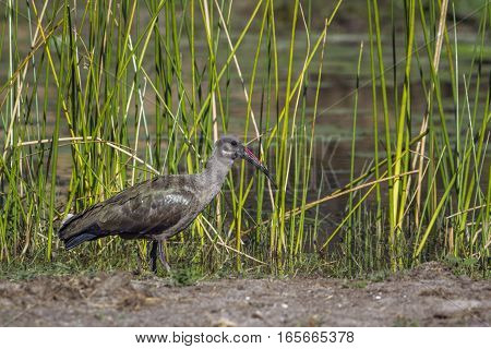 Hadada ibis in Kruger national park, South Africa ; Specie Bostrychia hagedash family of Threskiornithidae