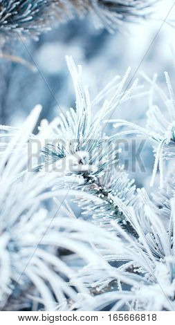 a grren pine branch snow covered on a blue background. in the foreground white twigs.