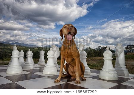 pure breed vizsla dog on oversized chess board outdoors