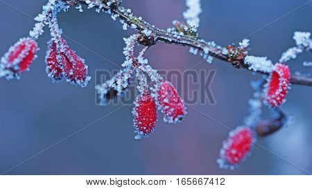 some red fruits on a branch on a violet background and white ice pieces