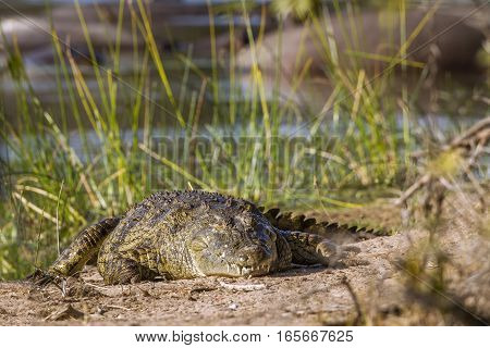 Nile crocodile in Kruger national park, South Africa ; Specie Crocodylus niloticus family of Crocodylidae