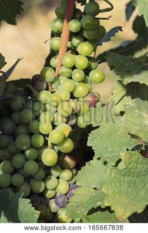 Fresh grapes in the vineyard at nature