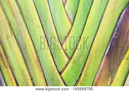 Close up pattern of banana leaves for texture background.