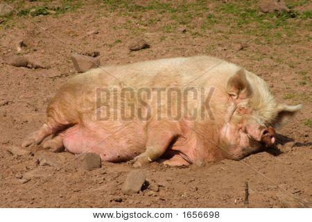 A Pig Having An Afternoon Nap.