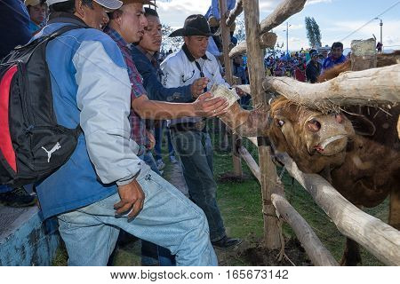 August 13, 2016 Ibarra, Ecuador: cowboys and bull looking at each-other at a rodeo in La Esperanza