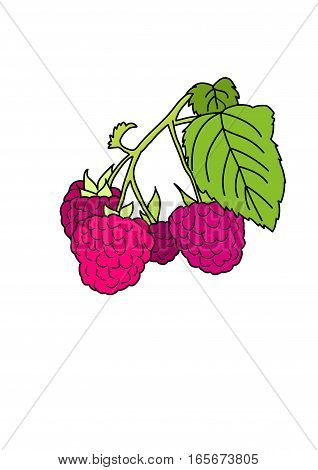 A branch of raspberries on a white background.