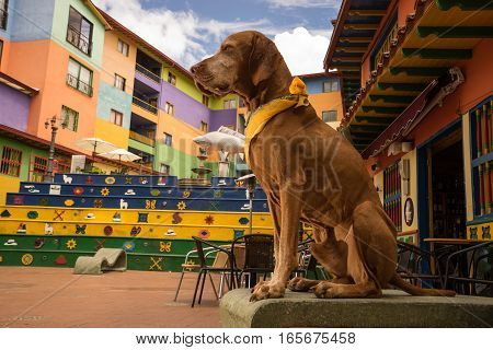 golden colour vizsla dog sitting in the Plaza de los Zocalos in Guatape Colombia
