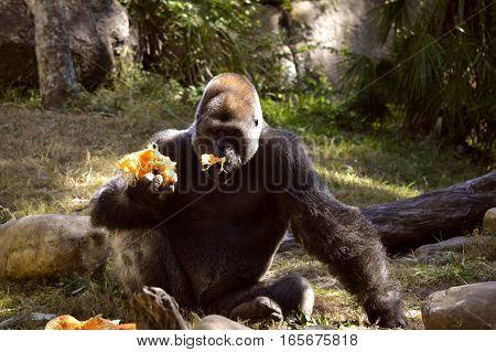 A Lowland gorilla Latin name Gorilla gorilla