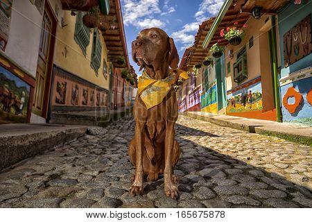 golden colour vizsla dog sitting on cobblestone street in Guatape Colombia
