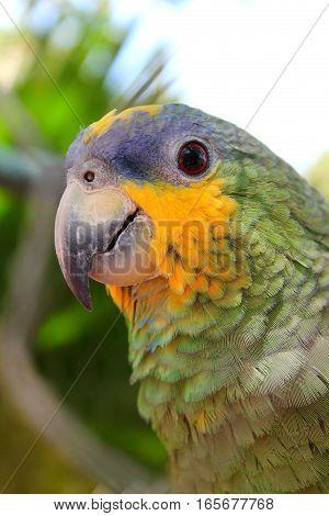 Parrot in Venezuela - smiling bird - green parrot