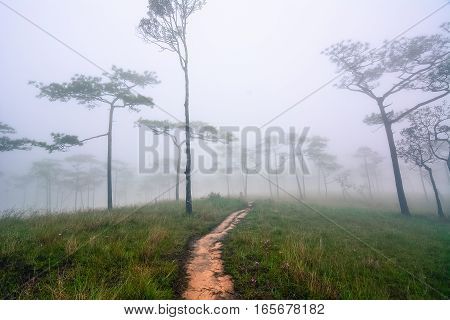 Trail through a mysterious dark misty forest in fog. Autumn morning around pine trees
