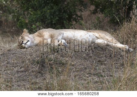 African lioness resting in shadow Masai Mara reserve Kenya