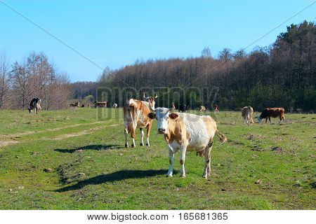 cows graze on the pasture outside the village near the forest